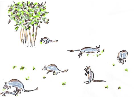 Wallabies au jardin des plantes